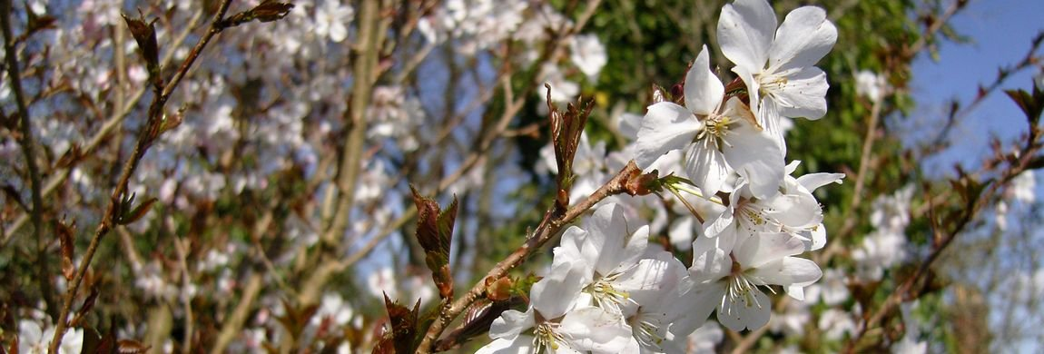 Ornamental Cherry Blossom in Spring