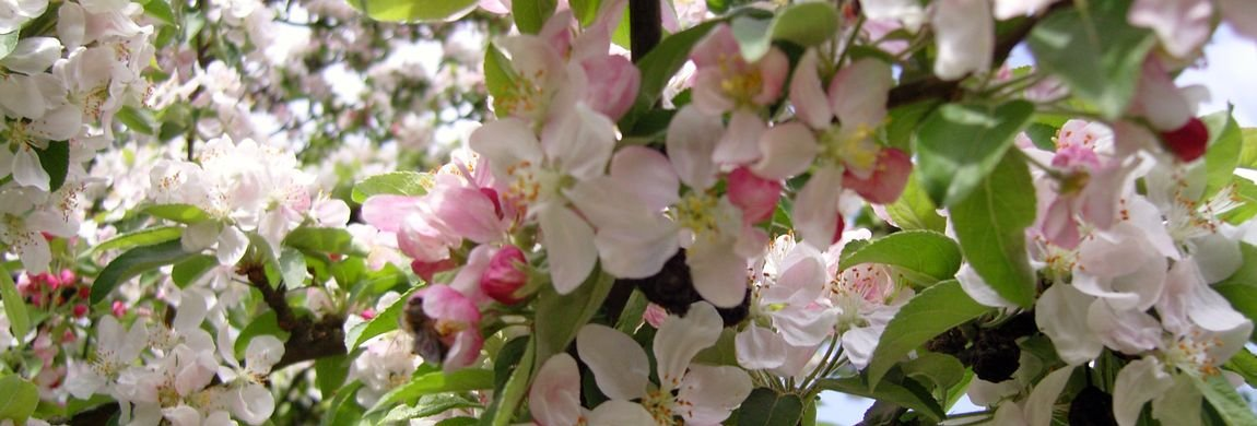 Blossom of Malus selvaticus in Spring